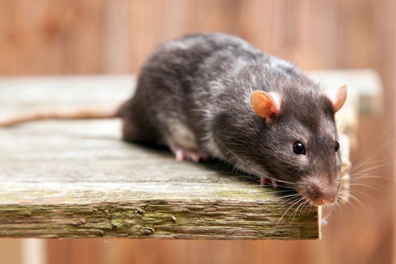 Can Mice Eat Through Spray Foam