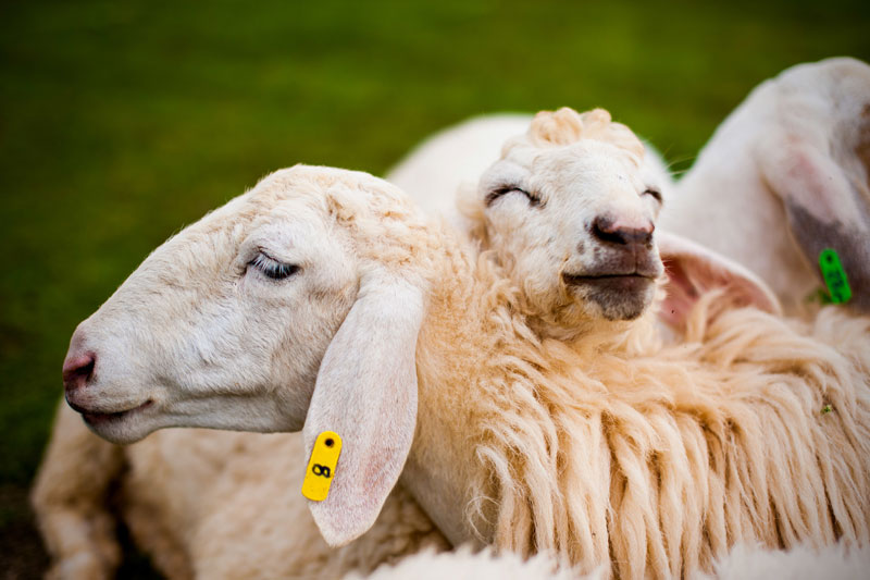 Sheep Wool Insulation pros and cons