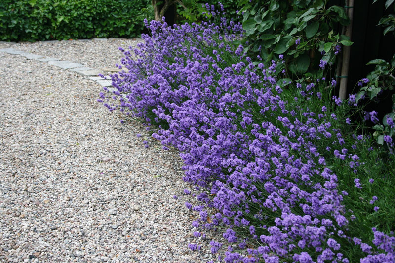 compact shrubs for borders