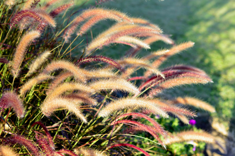 where to plant ornamental grasses
